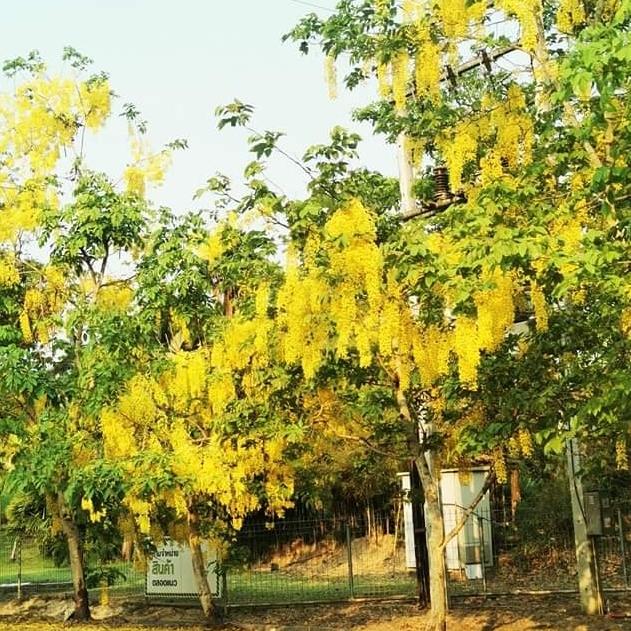 Golden Shower trees
