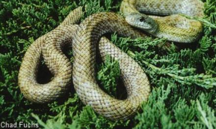 ย๊าก ! งูญี่ปุ่นเล็ดลอดเข้านิวซีแลนด์