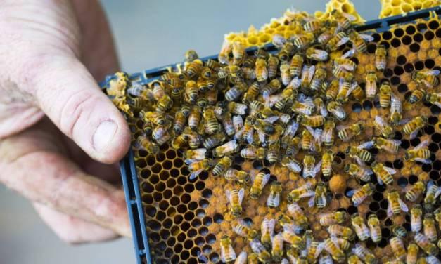 บริษัทใส่สารสังเคราะห์ในน้ำผึ้งมานูก้า ถูกปรับ $260,000