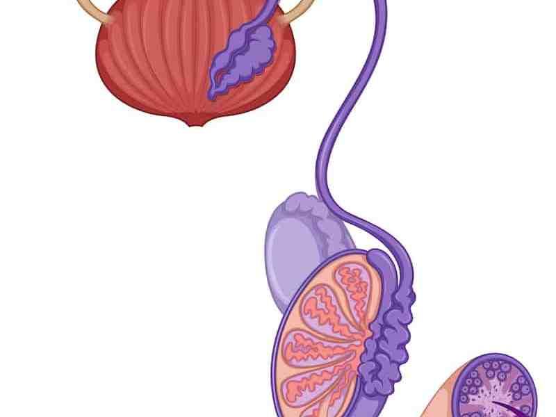 Testis anatomy