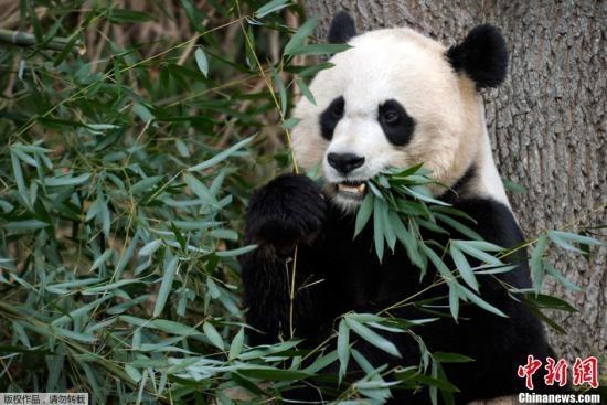 """被传""""受虐""""旅美大熊猫现状:一家三口""""一切安好"""""""