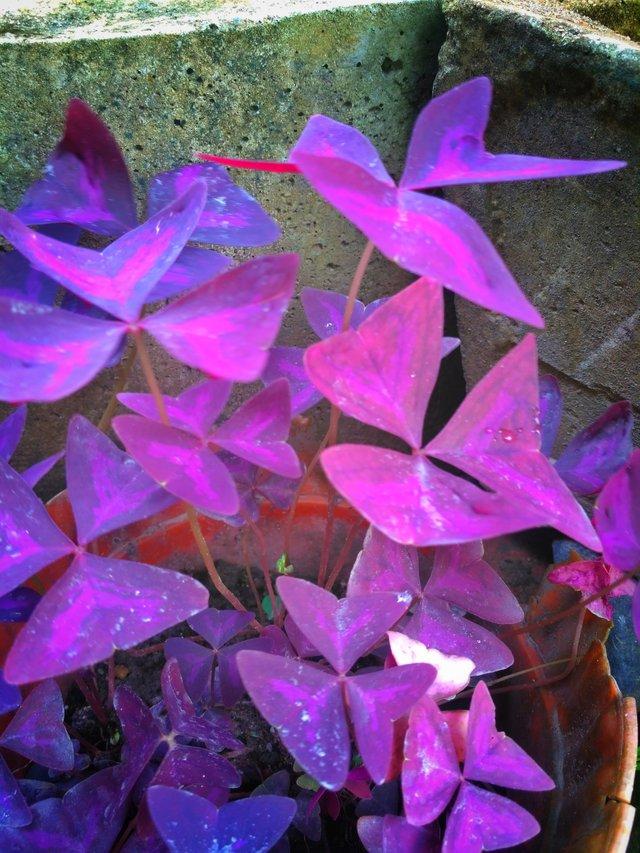 Gambar Bunga Dan Kupu-kupu : gambar, bunga, kupu-kupu, Viral, Bunga, Sebut, Dengan, Latinnya, Bauhinia, Purpurea, Pesona