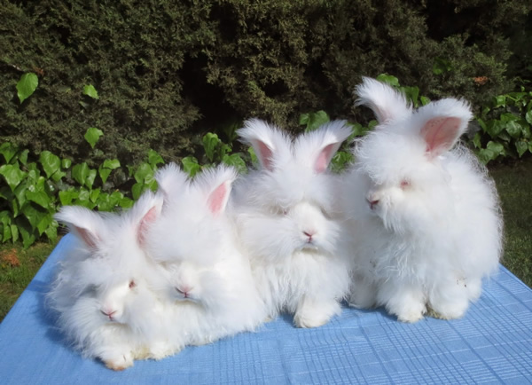 english-angora-rabbit-7
