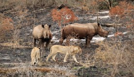 Lions and White Rhinos