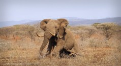 And a happy ending - all three gentle giants recovered well from the procedures