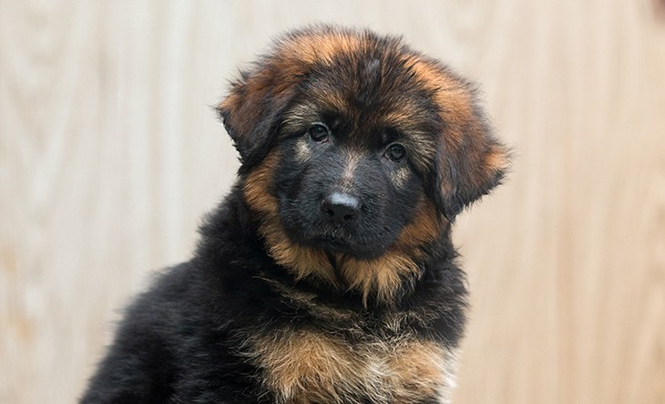 Portrait of a long-haired puppy of a German shepherd