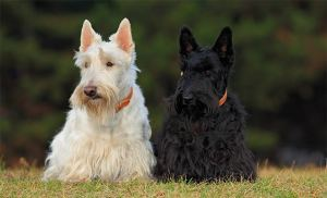 Pair of black and white scottish terriers