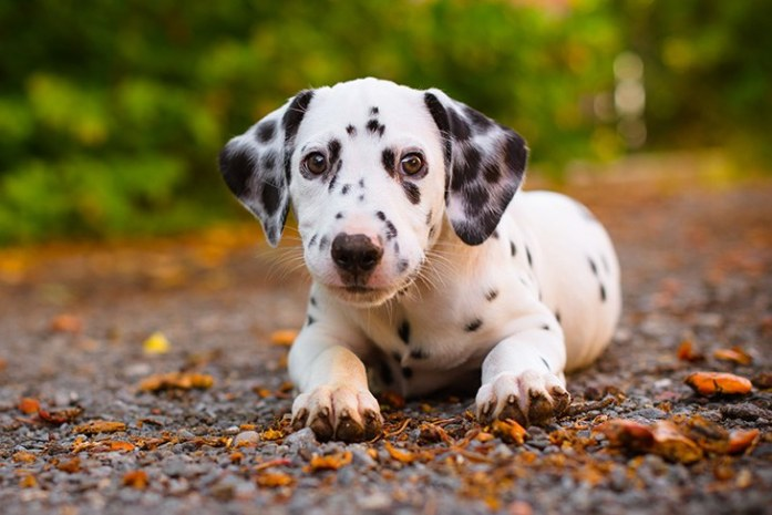 Things You Need To Consider Before Buying Dalmatian Puppies