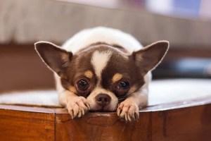 Applehead Chihuahuas