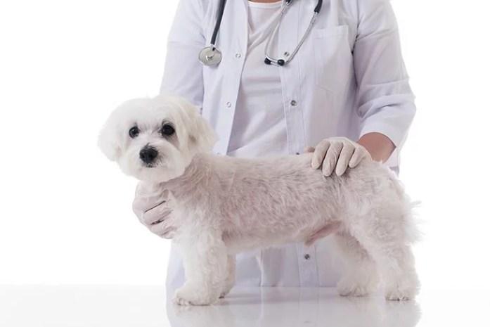 Veterinarian examining a cute maltese dog in medical table