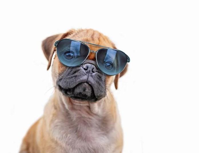 pug chihuahua mix puppy dog