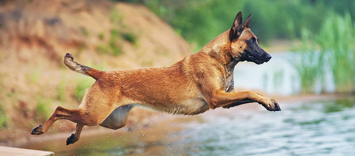 The Belgian Malinois are intelligent and hard-working