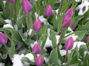 Purp tulips