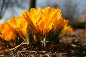 Spring flowering bulbs like crocus planted in fall make the landscape come alive in spring