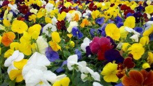 Pansies are colorful tough dudes