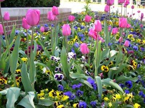 Tulips growing through pansies planted last fall and reblooming in the spring