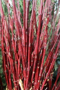 Red Twig Dogwood adds lots of color!