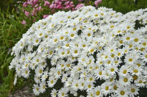 Leucanthemum Daisy May Proven Winners