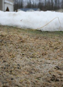Matted turf and the grey mycelium appears as the snow piles clear