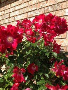 Vigorous shrub Own Root Roses