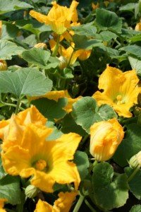 Squash blooms are edible and delicious....might want to consider some Qtip pollination to help Mother Nature along
