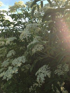 This is Elderflower....very large and generally grows in ditch areas. In bloom in June. Don't mistake it for Giant Hogweed the plant that has been in the news lately.