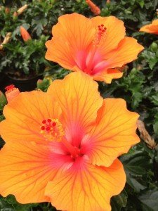 Rosa sinensis....non hardy tropical Hibiscus