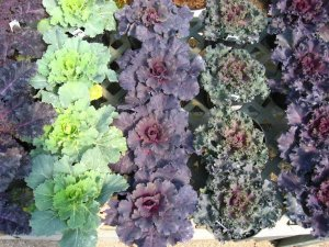 Ornamental Kale or Cabbage are perfect additions to the landscape for cool season color