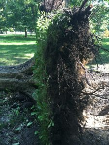 This tree completely uprooted in the storm. Notice the taper and root collar were strong but the lateral roots were unable to support the tree