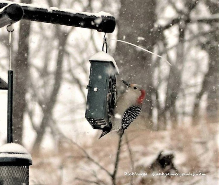 Red bellied woodpecker I photographed January 2021