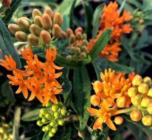 Asclepias or Butterfly Weed