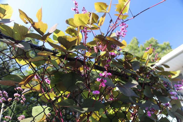 Hyacinth bean is a dazzling ornamental with stunning, pinkish-purple flowers and shiny, dark purple pods