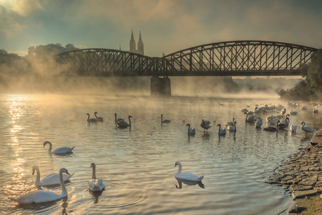 Swans floating on a frosty river in the morning in Prague