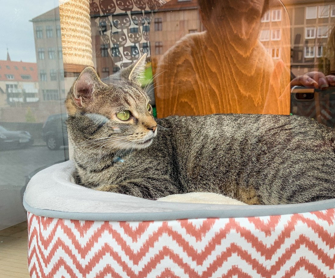A cat named Peter at the Katzentempel Nurnberg. The cafe is one of the best places to eat in Nuremberg for vegetarians and vegans.