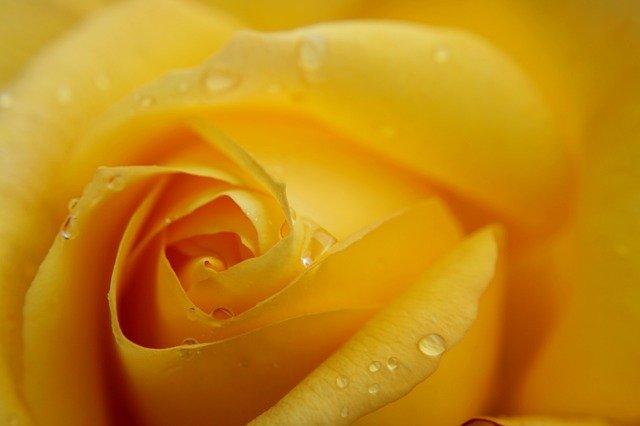 Arti Bunga Mawar Kuning dan Sisi Negatifnya