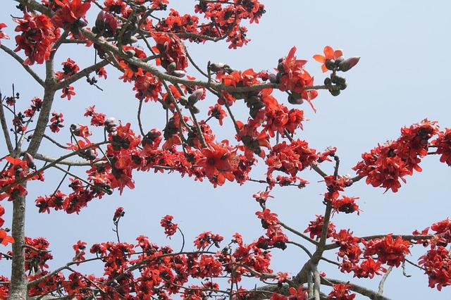 Sejarah dan Karaktristik Pohon Kapas