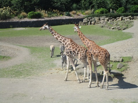 The giraffes at the Dublin Zoo