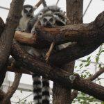 Ring-tailed lemur monkeys
