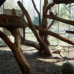 A leopard at the Schonbrunn Zoo