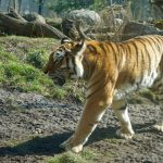 A tiger at the Schonbrunn Zoo