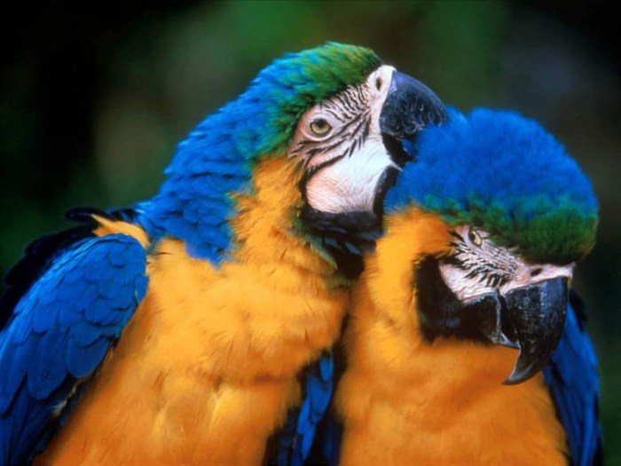 Two Parrots Snuggling