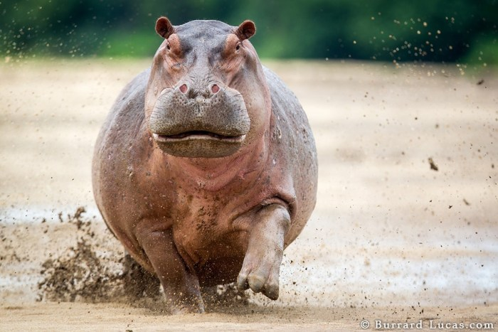A terrifying sight… a huge mother hippo charging directly towards me!