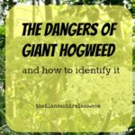The dangers of Giant Hogweed