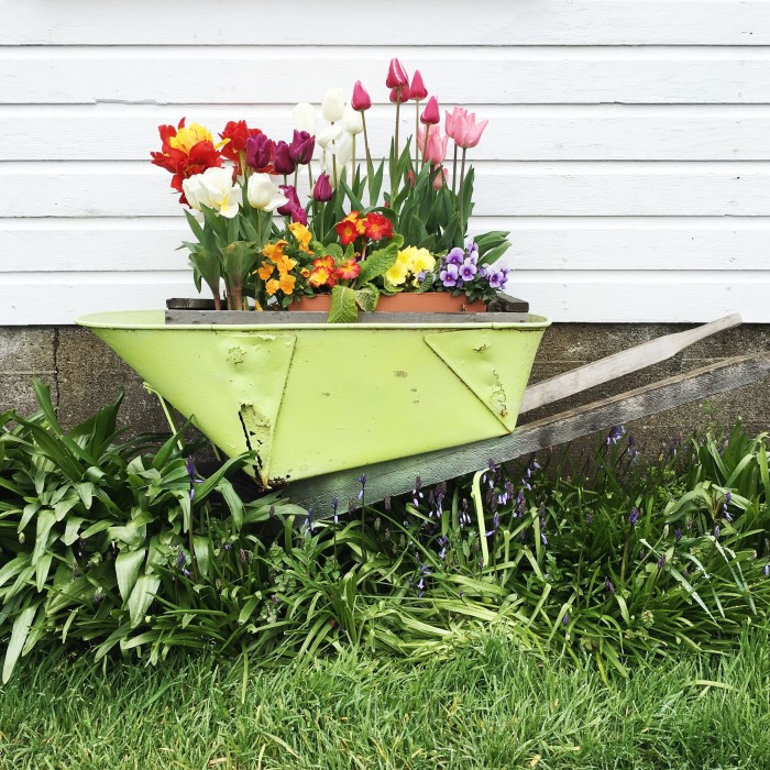 tulip wheelbarrow