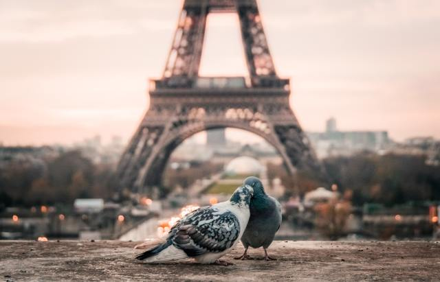 Two pigeons embrace in front of the Eiffel Tower
