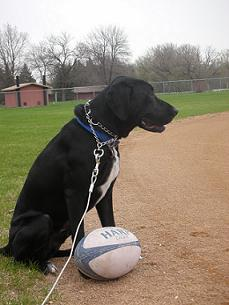 Black lab mix sitting with rugby ball on pitch/field