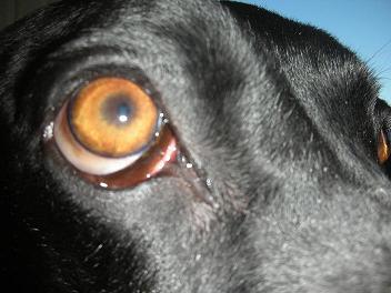 Why are my dog's eyes swollen? | ThatMutt com: A Dog Blog