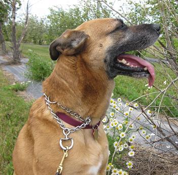german shepherd mix up for adoption in Fargo ND