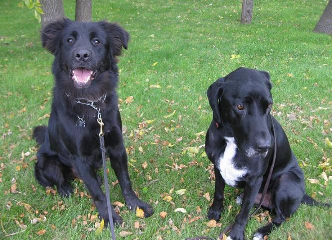 Morgan the Newfoundland mix and Ace the black lab mix sitting in leaves at park