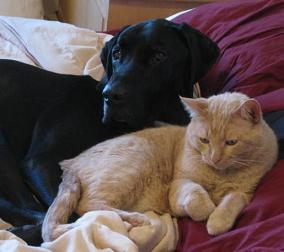 Ace the black lab mix and Beamer the cat sleeping in the bed together cuddling